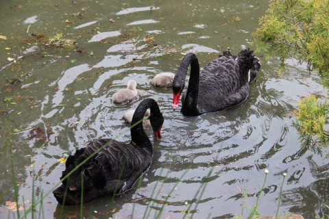У пары черных лебедей в сочинском парке родились птенцы (ФОТО)