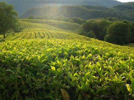 Российские и китайские ученые в Сочи расшифровывают геном чая